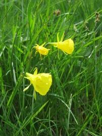 N. bulbocodium (hoop-petticoat daffodil)