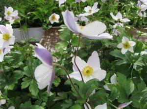 Waterscape Garden (Hugo Bugg) 11 Anemone 'Wild Swan'