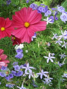 Cosmos, Phlox and Ipheion at Chelsea Physic Garden 2013-5