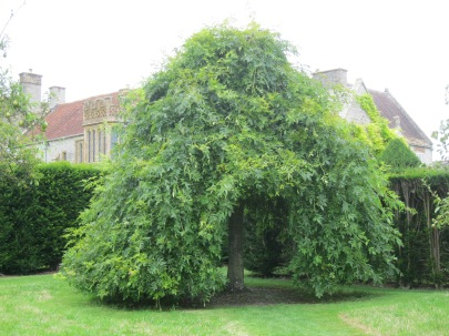 Lytes Cary, weeping ash tree 6