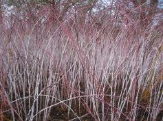 Cornus sericea 'Isanti' and Rubus biflorus 2