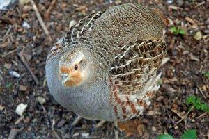 Grey partridge-image Norfolk Wildlife Trust, credit Martin Staff
