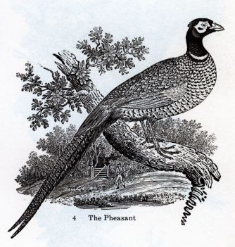 Woodcut of a pheasant by Thomas Bewick, c 1797