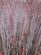 Red and white stems 2