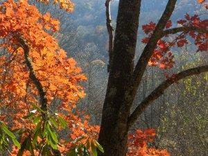 Red Oak in the Appalachians