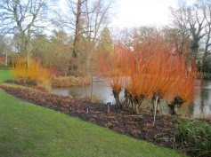 Willows and dogwoods