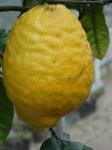 Citron Medica at Wisley 15-01-2013 01-25-28