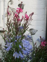 Flowers Agapanthus and Gaura-1
