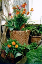 Front tulips and wallflowers