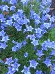 Gentiana x macaulayi Kidbrooke seedling