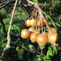 Malus yunnanensis