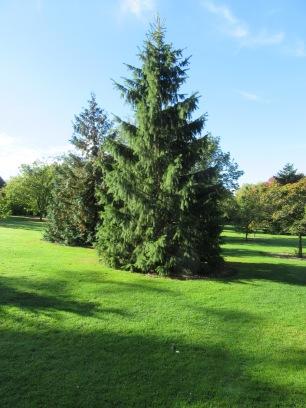 Picea smithiana