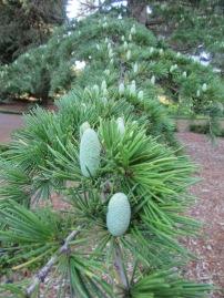 Pine cones in a row
