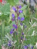 Anchusa Hugo Bugg's Garden 2
