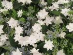 Hydrangea 'Fireworks White' 1