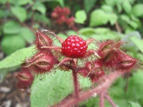 Japanese wineberry - Rubus phoenicolasius Jacket