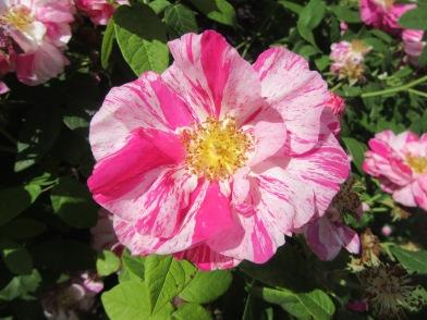 Sunbury Roses 1