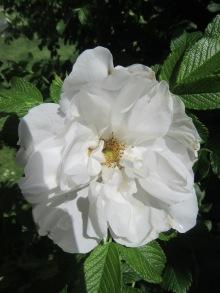 Sunbury Roses 2