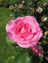 Sunbury Roses 4