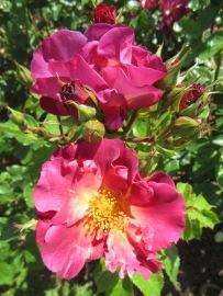Sunbury Roses 9