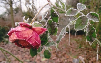 A Frozen Rose