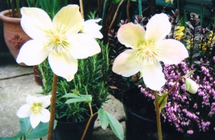 hellebores and heather