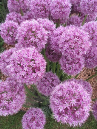 Allium elatum His Excellency 1