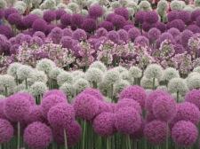 Alliums 3
