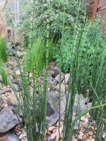Resilience Eberle Equisetum Hyemale