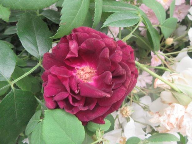 Rose Souvenir du Docteur Jamain