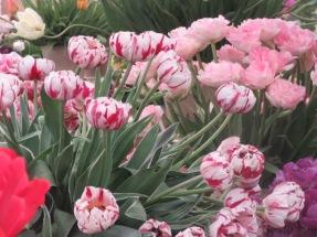Tulip Carneval de Nice