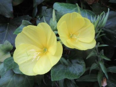 Evening Primrose 8