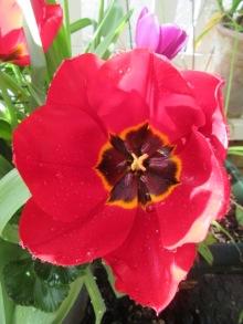 Tulips 7 Pallada