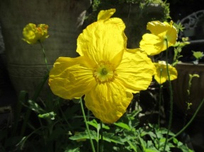 Welsh Poppy 2