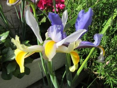Iris 2a