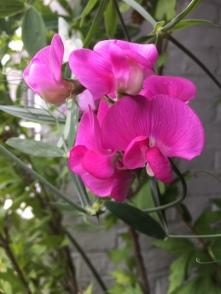 Perennial Pea
